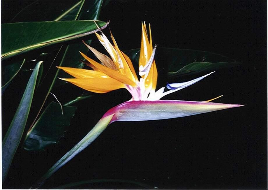 Paradise Bird by night.