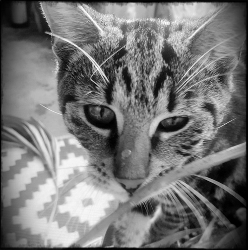 Pluto kitten