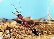The Australian Bull ant
