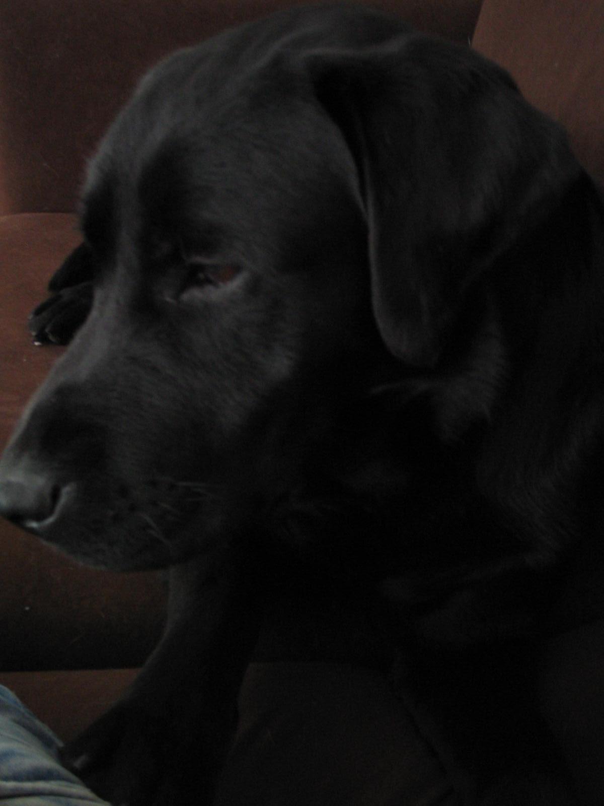 Lex -  Mijn Labrador/Rotweiler kruising.