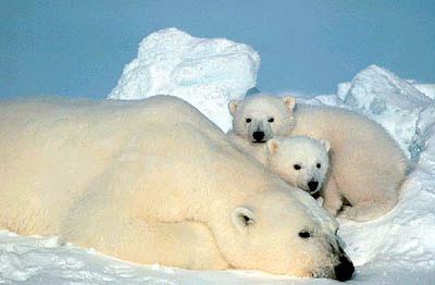 IJsberen (van Tokay O+ )