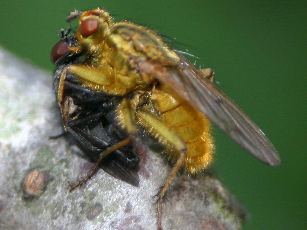 het eet vlieg